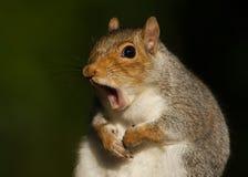 Esquilo cinzento (carolinensis do Sciurus) Imagem de Stock