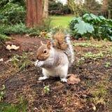 Esquilo cinzento, Hyde Park, Londres Imagem de Stock Royalty Free