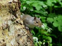 Esquilo cinzento II fotografia de stock