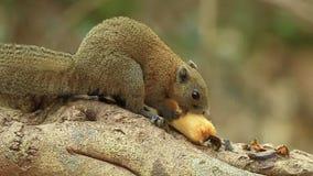Esquilo Cinzento-inchado video estoque