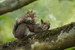 Esquilo cinzento na filial fotografia de stock royalty free