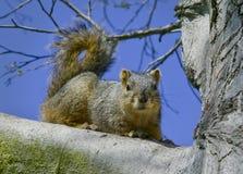 Esquilo cinzento na filial de árvore Foto de Stock Royalty Free