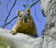 Esquilo cinzento na filial de árvore 2 Fotografia de Stock