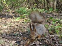 Esquilo cinzento na floresta Foto de Stock