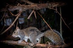 Esquilo cinzento no alimentador Imagem de Stock