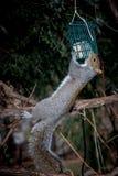 Esquilo cinzento no alimentador do pássaro Fotos de Stock