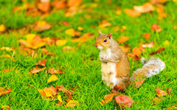 Esquilo cinzento no parque do outono Foto de Stock Royalty Free