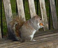 Esquilo cinzento no piquenique imagens de stock royalty free