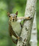 Esquilo cinzento no tronco de árvore Fotografia de Stock
