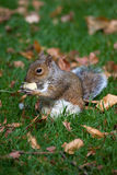 Esquilo cinzento nos animais selvagens Imagem de Stock Royalty Free