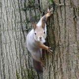 Esquilo cinzento que adere-se em uma casca da opinião dianteira da árvore Imagem de Stock