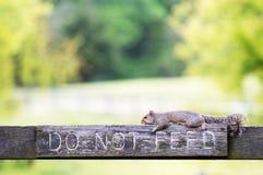 Esquilo cinzento que encontra-se em um cargo da cerca Imagens de Stock Royalty Free