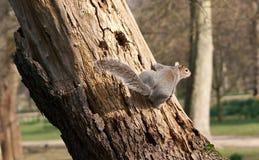 Esquilo cinzento que fica alerta fotos de stock royalty free