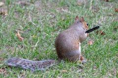 Esquilo cinzento que guarda uma pena Fotografia de Stock Royalty Free