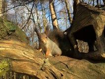 Esquilo cinzento que senta-se em uma árvore na frente do starrin de madeira da casa Imagens de Stock Royalty Free