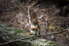 Esquilo com alimento Fotos de Stock