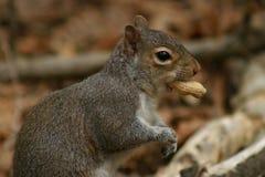 Esquilo com amendoim Fotografia de Stock