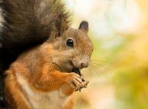 Esquilo com as sementes de girassol foto de stock
