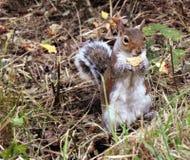 Esquilo com biscoito Imagem de Stock