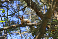 Esquilo com bolota Imagens de Stock Royalty Free