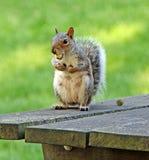 Esquilo com bolota Fotografia de Stock Royalty Free