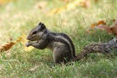 Esquilo com centrado sobre comer no parque em greenary imagens de stock royalty free
