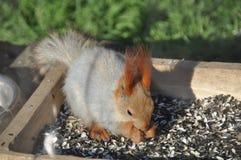 Esquilo com fome Imagens de Stock Royalty Free