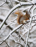 Esquilo com na floresta Imagens de Stock