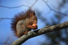 Esquilo com a porca em Éstocolmo/Skansen Imagens de Stock
