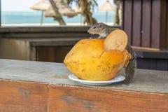 Esquilo com um coco na praia Foto de Stock Royalty Free