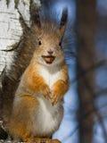 Esquilo com uma avelã Imagens de Stock
