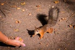 Esquilo com uma cauda luxúria do parque da cultura e da recreação fotos de stock