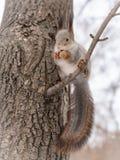 Esquilo com uma cauda macia que come porcas em um ramo de árvore no inverno fotos de stock