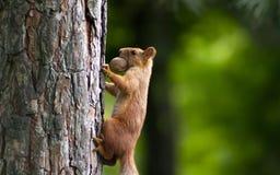 Esquilo com uma noz Fotos de Stock