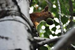 Esquilo com uma porca em sua boca Foto de Stock Royalty Free