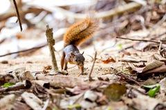esquilo/Costa Rica/Cahuita Vermelho-atados Fotografia de Stock Royalty Free