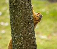 Esquilo curioso Fotos de Stock