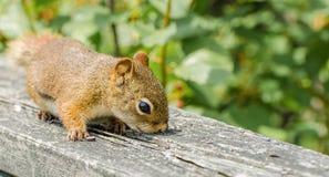 Esquilo curioso Imagem de Stock Royalty Free