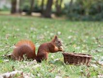 Esquilo curioso Foto de Stock Royalty Free