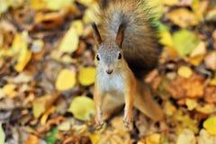 Esquilo curioso Foto de Stock