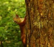 Esquilo curioso Imagens de Stock