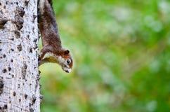 Esquilo curioso no parque Foto de Stock