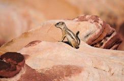 Esquilo da rocha Fotos de Stock