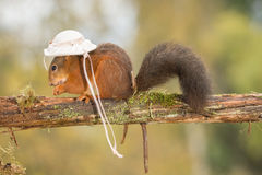 Esquilo da senhora Fotografia de Stock