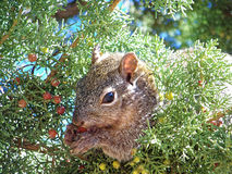 Esquilo de árvore Imagem de Stock Royalty Free