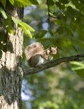 Esquilo de árvore Foto de Stock