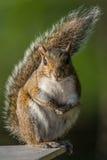 Esquilo de árvore Fotografia de Stock Royalty Free
