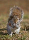 Esquilo de árvore Imagens de Stock Royalty Free