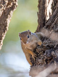 Esquilo de árvore curioso que pendura sobre para descascar imagens de stock
