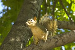 Esquilo de árvore na filial Fotografia de Stock Royalty Free